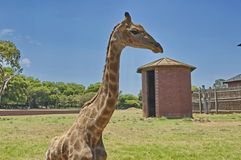 South African giraffe Stock Images
