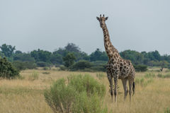 South African giraffe in savannah facing camera Stock Image