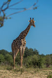 South African giraffe standing framed by branches Royalty Free Stock Image