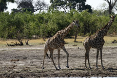 South African Giraffes Royalty Free Stock Photos