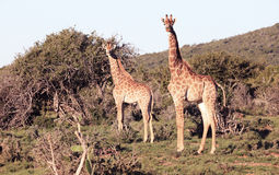 South African Giraffe. Two beautiful giraffe stand along the edge of the savannah in South Africa Royalty Free Stock Photos