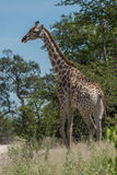 South African giraffe walking through leafy trees Royalty Free Stock Photography