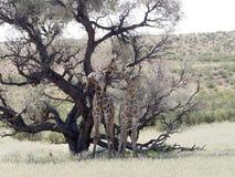 South African Giraffe Wedding Dances, Giraffa camelopardalis giraffa, Kalahari, South Africa. The South African Giraffe Wedding Dances, Giraffa camelopardalis Stock Image