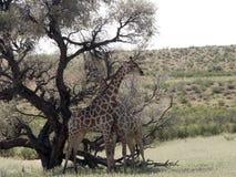 South African Giraffe Wedding Dances, Giraffa camelopardalis giraffa, Kalahari, South Africa. The South African Giraffe Wedding Dances, Giraffa camelopardalis Royalty Free Stock Photo