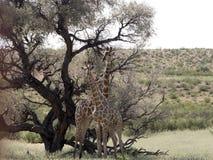 South African Giraffe Wedding Dances, Giraffa camelopardalis giraffa, Kalahari, South Africa. The South African Giraffe Wedding Dances, Giraffa camelopardalis Royalty Free Stock Images