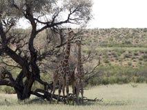 South African Giraffe Wedding Dances, Giraffa camelopardalis giraffa, Kalahari, South Africa. The South African Giraffe Wedding Dances, Giraffa camelopardalis Stock Images