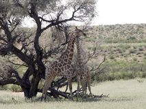 South African Giraffe Wedding Dances, Giraffa camelopardalis giraffa, Kalahari, South Africa. The South African Giraffe Wedding Dances, Giraffa camelopardalis Royalty Free Stock Photos