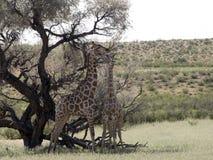 South African Giraffe Wedding Dances, Giraffa camelopardalis giraffa, Kalahari, South Africa. The South African Giraffe Wedding Dances, Giraffa camelopardalis Stock Photos