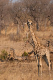 South African giraffe Royalty Free Stock Images