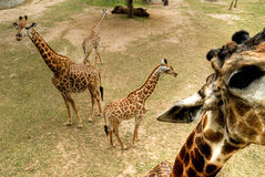South African giraffes Royalty Free Stock Photo