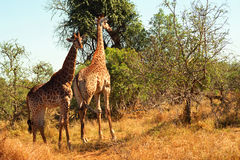 South African giraffes, Mkhaya Game Reserve, Swaziland. South African giraffes in Mkhaya Game Reserve, Swaziland royalty free stock image