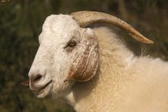 South African goat Royalty Free Stock Images