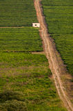 South African Green Tea Farm Road Royalty Free Stock Images