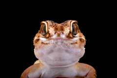 South African Ground Gecko (Chondrodactylus angulifer ) Stock Images