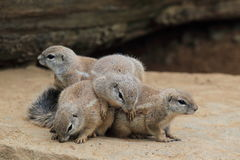 South African ground squirrel Royalty Free Stock Image