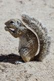 South African ground squirrel, Kalahari, South Africa Royalty Free Stock Photography