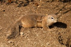 South African ground squirrel, Xerus inauris Stock Photo