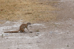 South African ground squirrel Xerus inauris Stock Photos
