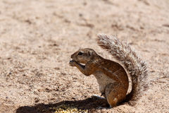 South African ground squirrel Xerus inauris Royalty Free Stock Images