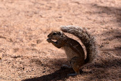 South African ground squirrel Xerus inauris Stock Photography