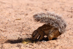 South African ground squirrel Xerus inauris Royalty Free Stock Image