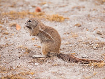 South African ground squirrel Stock Photo