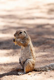 South African ground squirrel Xerus inauris Royalty Free Stock Photos