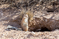 South African ground squirrel Xerus inauris Royalty Free Stock Photo