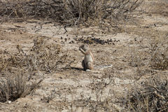 South African ground, Xerus inauris, squirrel,Gemsbok National Park, South Africa Stock Photos