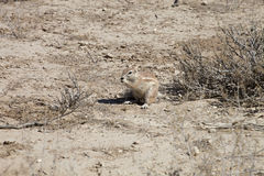 South African ground, Xerus inauris, squirrel,Gemsbok National Park, South Africa Royalty Free Stock Images