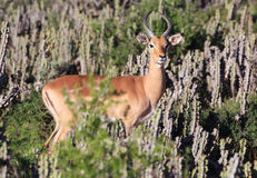 South African Impala Buck. A large African impala hides among the cactus of South Africa Royalty Free Stock Photo