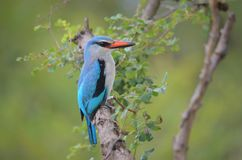 South African Kingfisher royalty free stock photo