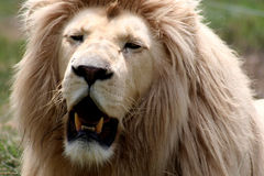 South African Lion. Portrait of Male Lion in South Africa Royalty Free Stock Images