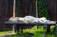 South African lion and female rests Royalty Free Stock Images