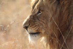South African Lion. South African Male Lion Royalty Free Stock Photography