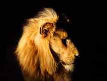 South African Lion. A Lion at night time in Kruger National Park, South Africa Stock Photo