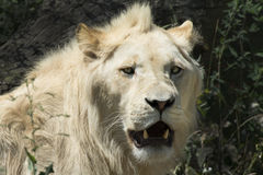 South African Lion Royalty Free Stock Image