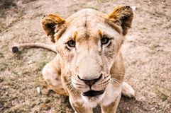 South African lion seated at lion reserve Stock Photos