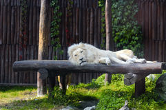 South African lion rests Stock Photography