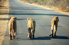 South African Lions on road. Three Lions walking on road by sunrise, going back from hunting. They seem saying We don't care about the food. That is how wildlife royalty free stock image