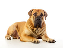 South african mastiff Royalty Free Stock Photography