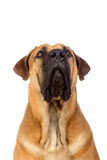 South african mastiff Stock Image