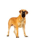South african mastiff Royalty Free Stock Photo