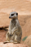 South African meerkat standing on guard Royalty Free Stock Photos