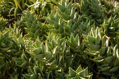 South African Mitre Aloe plants Stock Images