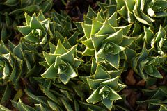 South African Mitre Aloe plants Royalty Free Stock Images