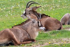 Roan antelope Hippotragus equinus. Detail portrait of antelope, head with big ears and antlers.  royalty free stock photography