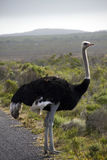 South African ostrich Stock Photo