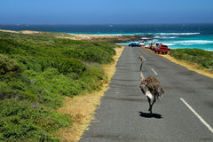 South African ostrich. Cape Town, South Africa Royalty Free Stock Photography