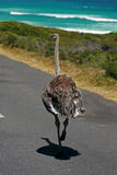 South African ostrich. Cape Town, South Africa Royalty Free Stock Photo